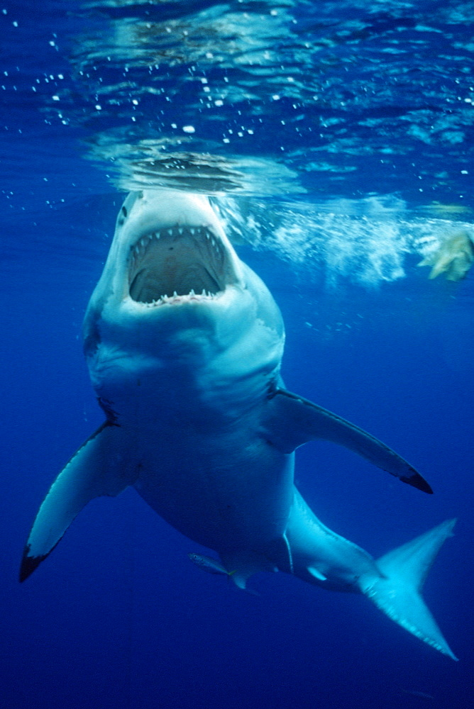 Great white shark (Carcharodon carcharias), Guadalupe, Mexico, Pacific Ocean, North America - 759-4188