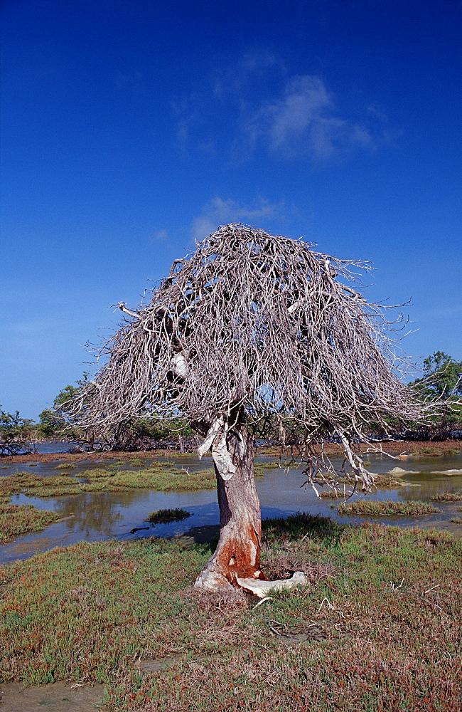 Dead tree and salt lake, Netherlands Antilles, Bonaire, Bonaire