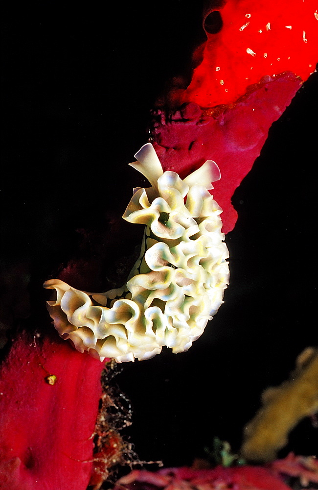 Lettuce sea slug, Tridachia crispata, Guadeloupe, French West Indies, Caribbean Sea