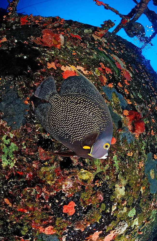 French Angelfish on the Hilma Hooker Ship Wreck, Pomacanthus paru, Netherlands Antilles, Bonaire, Caribbean Sea