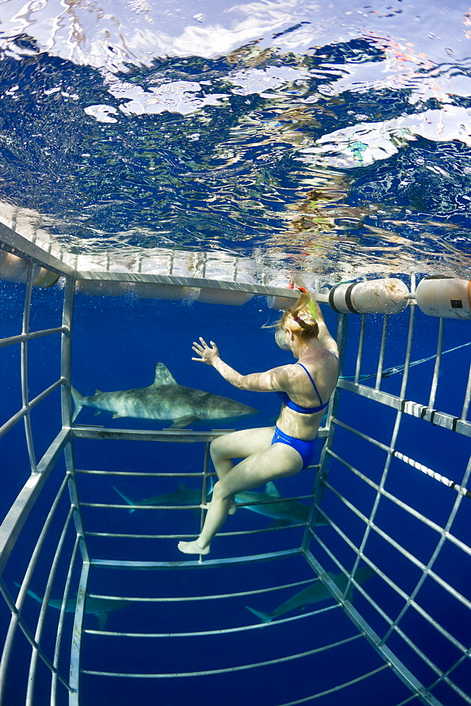 Cage Diving with Sharks, Oahu, Pacific Ocean, Hawaii, USA