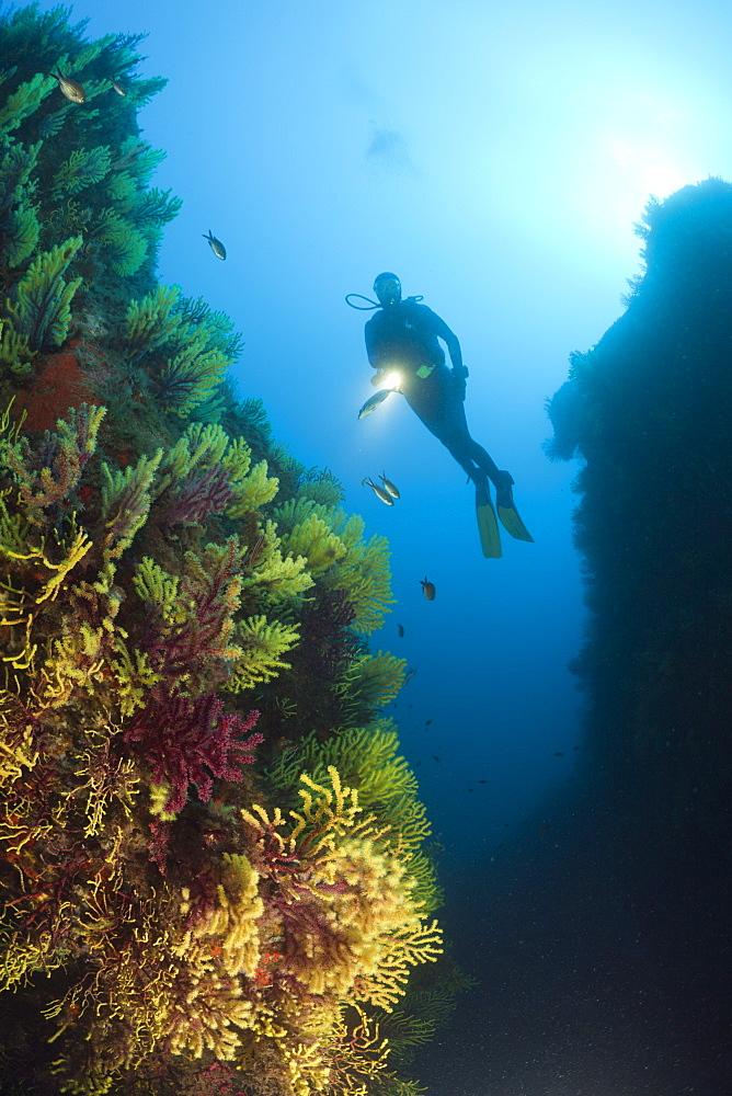 Scuba Diver and Variable Gorgonians, Paramuricea clavata, Tamariu, Costa Brava, Mediterranean Sea, Spain