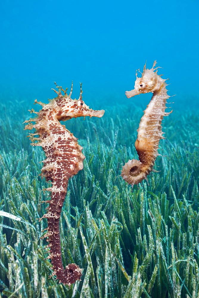 Couple of Mediterranean Seahorse, Hippocampus ramulosus, Tamariu, Costa Brava, Mediterranean Sea, Spain