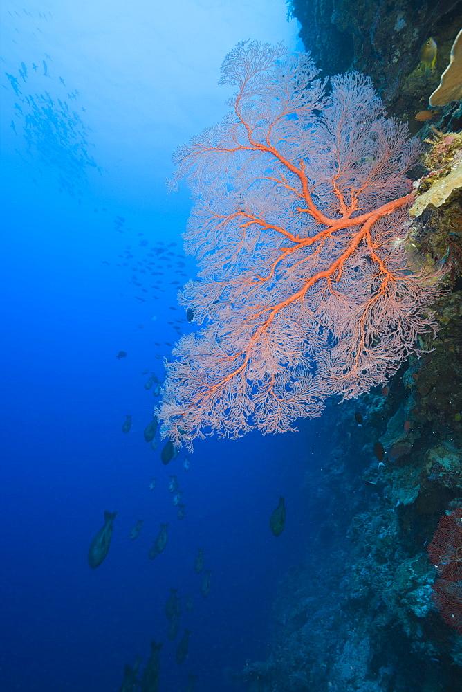 Sea Fan on Wall, Melithaea, Siaes Wall, Micronesia, Palau