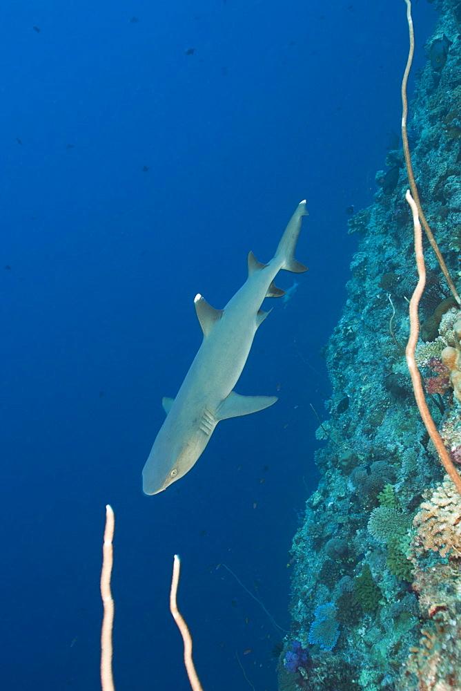 Whitetip Reef Shark, Triaenodon obesus, Blue Corner, Micronesia, Palau