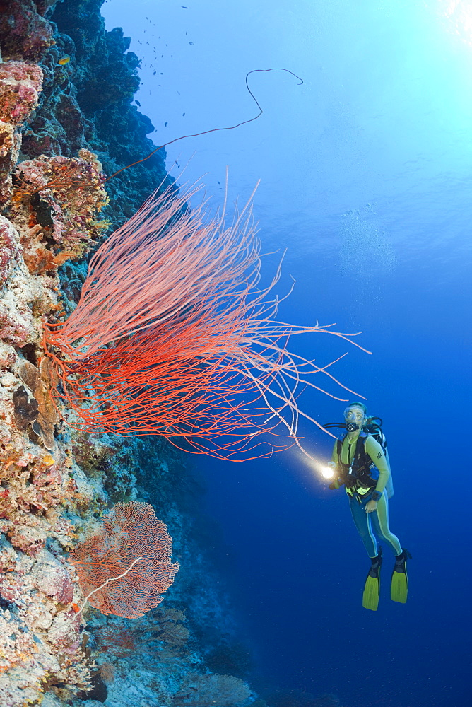 Red Whip Corals and Diver, Ellisella ceratophyta, Peleliu Wall, Micronesia, Palau