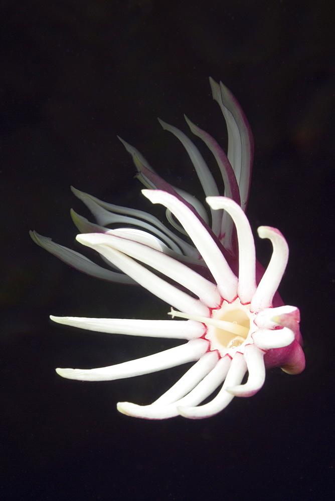 Reflection of Flower on Water Surface, Jellyfish Lake, Micronesia, Palau