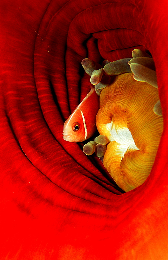 Pink anemonefish, Amphiprion perideraion, Papua New Guinea, Pacific ocean - 759-716