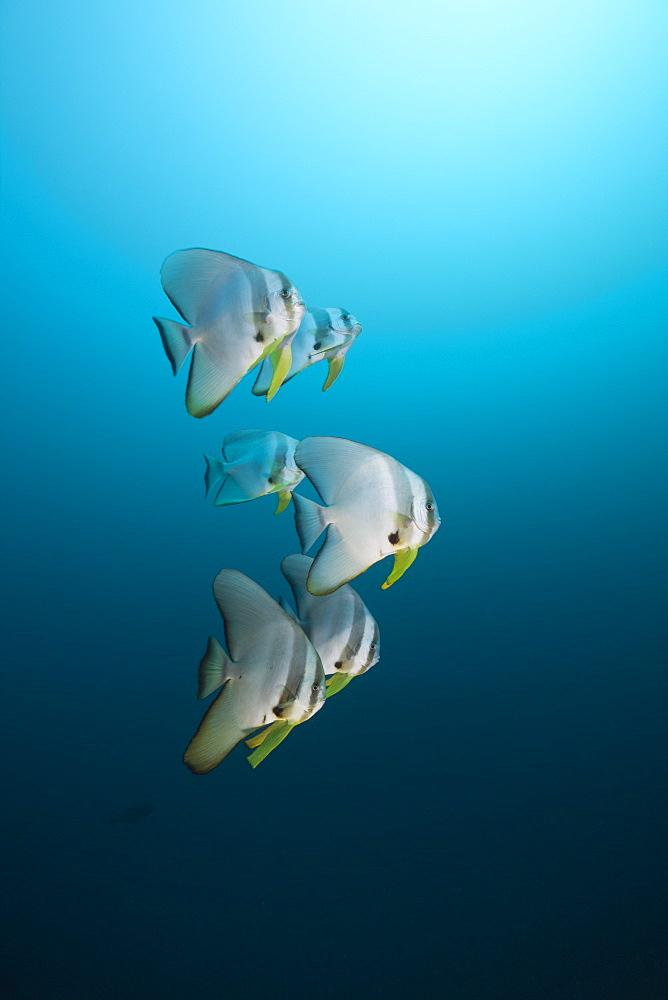 Longfin Batfish, Platax teira, North Ari Atoll, Maldives