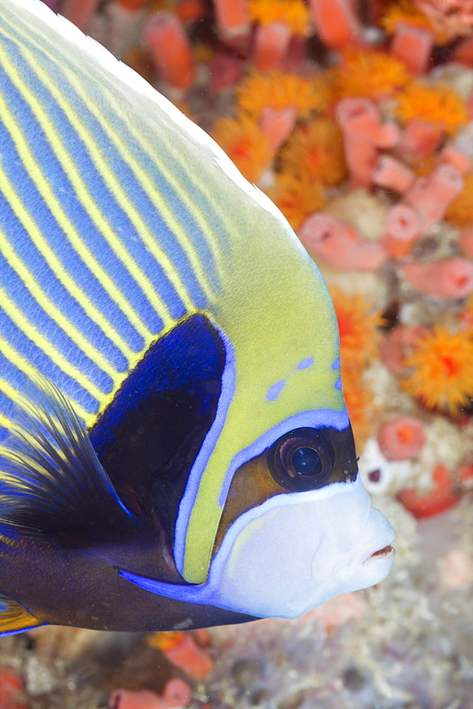 Emperor Angelfish, Pomacanthus imperator, Ellaidhoo House Reef, North Ari Atoll, Maldives