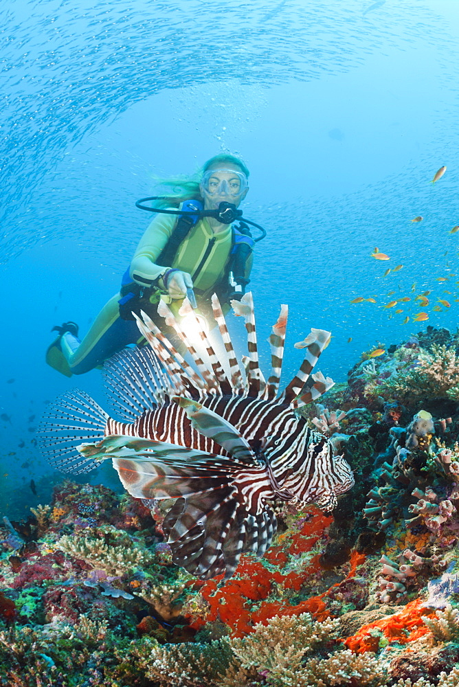 Diver and Lionfish, Pterois miles, Maya Thila, North Ari Atoll, Maldives
