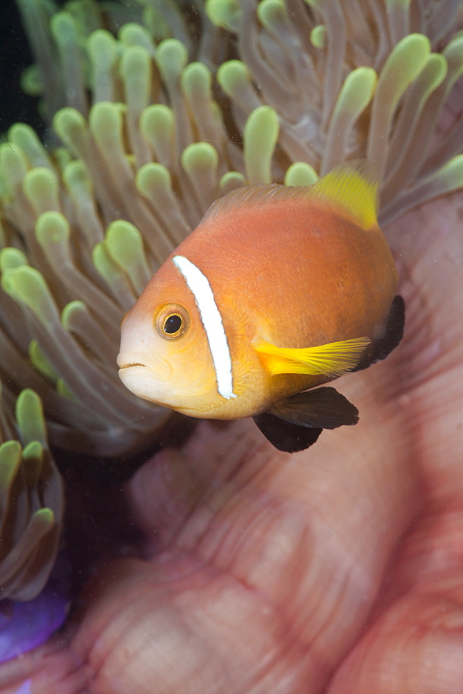 Maldive Anemonefish in Magnificent Anemone, Amphiprion nigripes, Heteractis magnifica, Kandooma Caves, South Male Atoll, Maldives