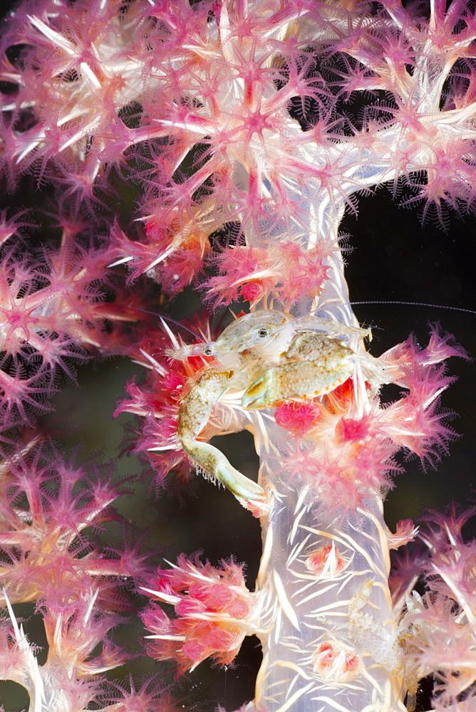 Porcelain Crab in Soft Coral, Pocellanella triloba, Raja Ampat, West Papua, Indonesia