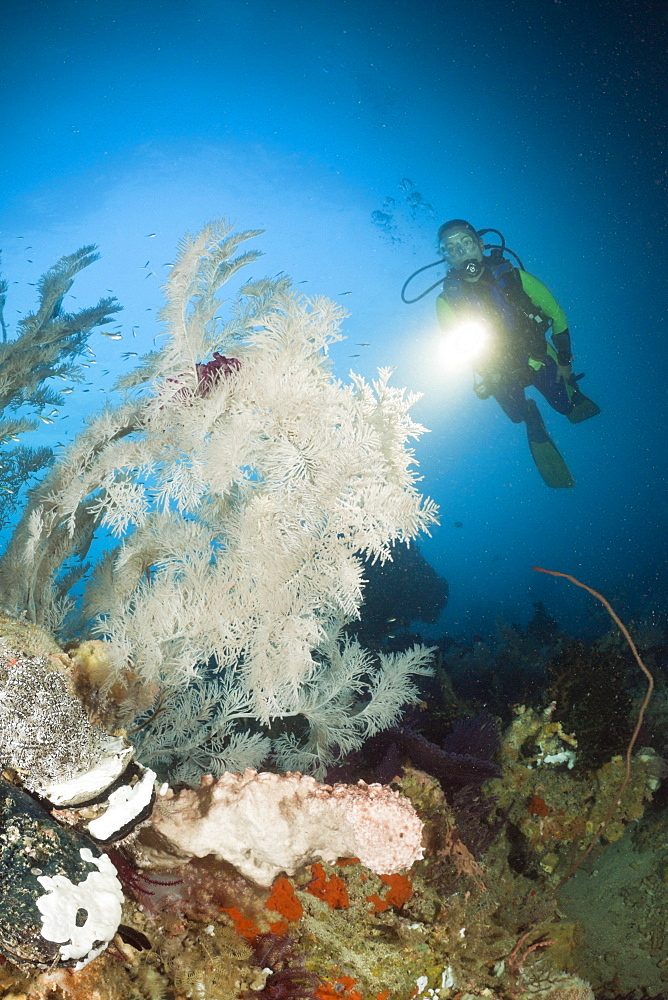 Black Coral and Scuba Diver, Antipathes dichotoma, Raja Ampat, West Papua, Indonesia