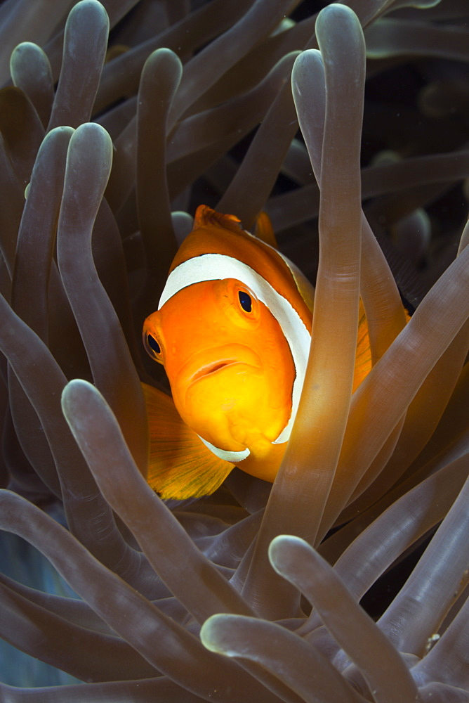 Clown Anemonefish, Amphiprion ocellaris, Raja Ampat, West Papua, Indonesia