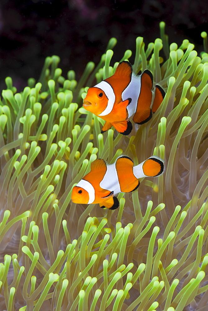 Clown anemonefish (Amphiprion percula), Alam Batu, Bali, Indonesia, Southeast Asia, Asia