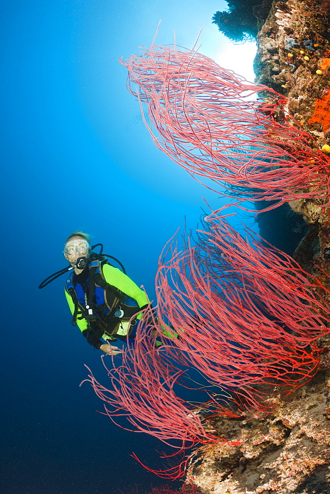 Scuba diver and red whip corals (Ellisella sp.), Wakaya, Lomaiviti, Fiji, Pacific