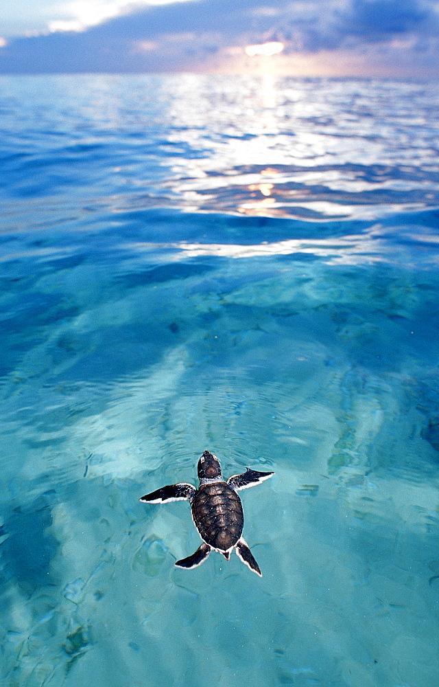 Swimming Baby Green sea turtle, green turtle, Chelonia mydas, Malaysia, Pazifik, Pacific ocean, Borneo, Sipadan