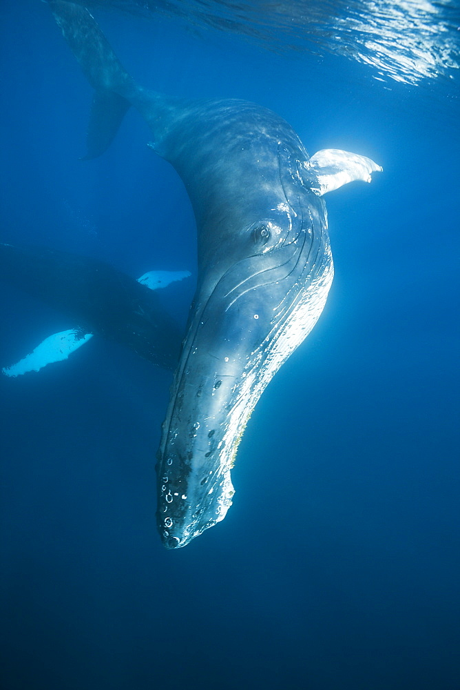 Humpback whale (Megaptera novaeangliae), Dominica, Caribbean Sea, West Indies, Central America - 759-9025