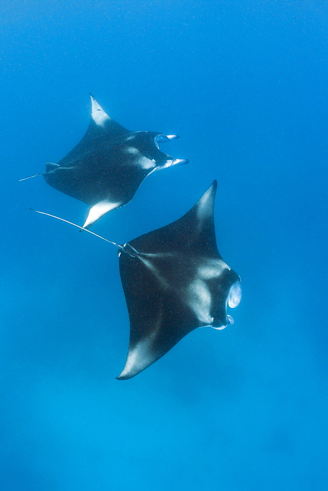 Two manta (Manta birostris), Hanifaru Bay, Baa Atoll, Maldives, Indian Ocean, Asia - 759-9706