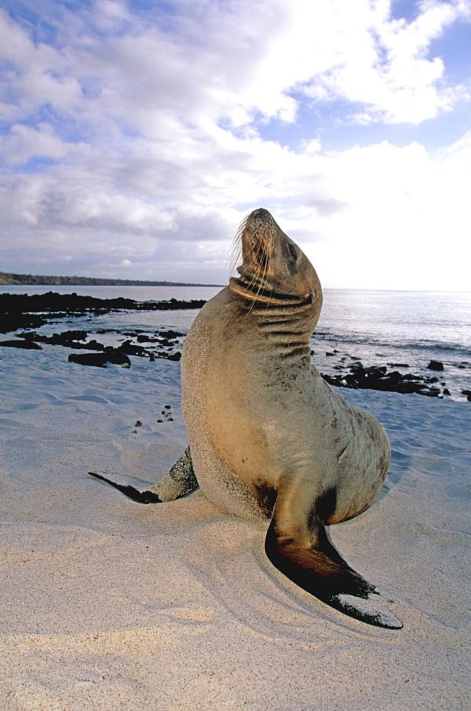 Sea Lions Zalophus californianus wollebacki, on the beach at Mosquera Island between Bartolome and Santa Cruz Islands, Galapagos Islands, Ecuador