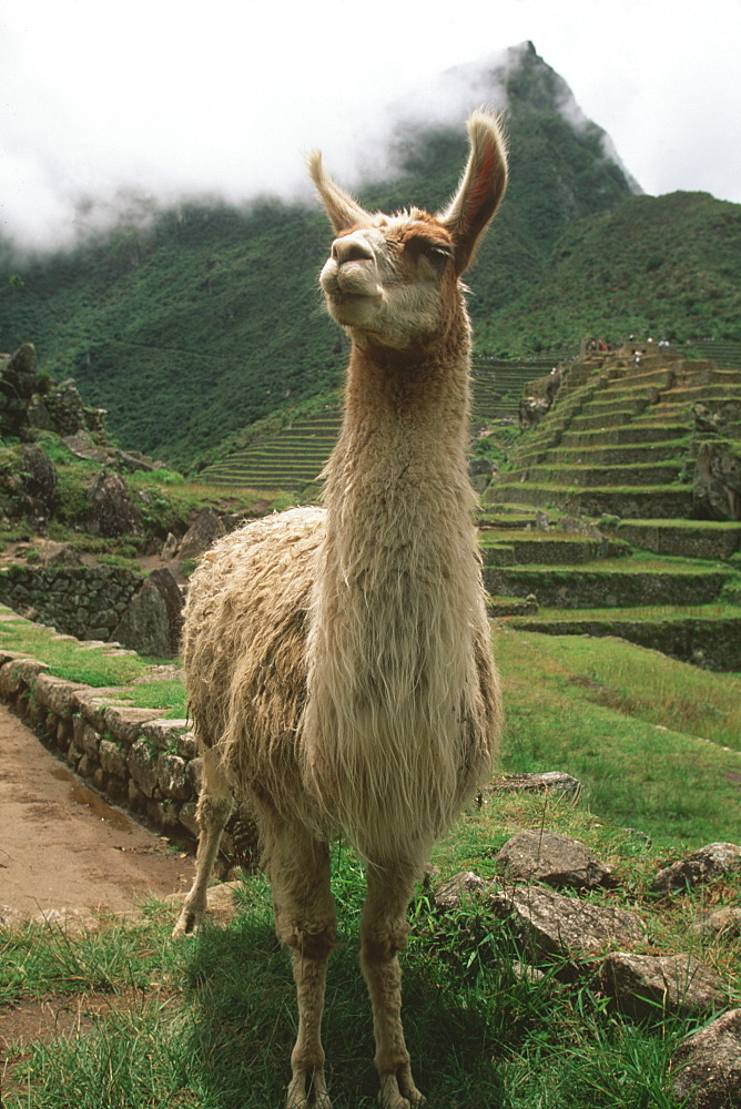 A llama on the terraced fields at Machu Picchu, the Incan city above the Urubamba River Valley, Andes Mountains, Highlands, Peru