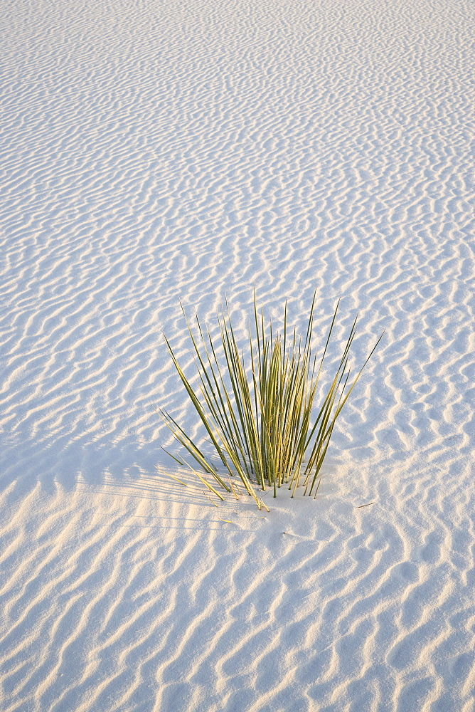 Yucca plant on a dune, White Sands National Monument, New Mexico, United States of America, North America