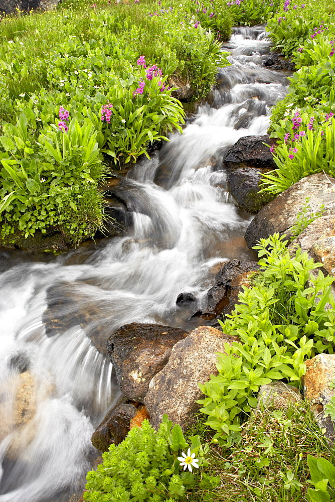 Stream through wildflowers, Mineral Basin, Uncompahgre National Forest, Colorado, United States of America, North America - 764-1023