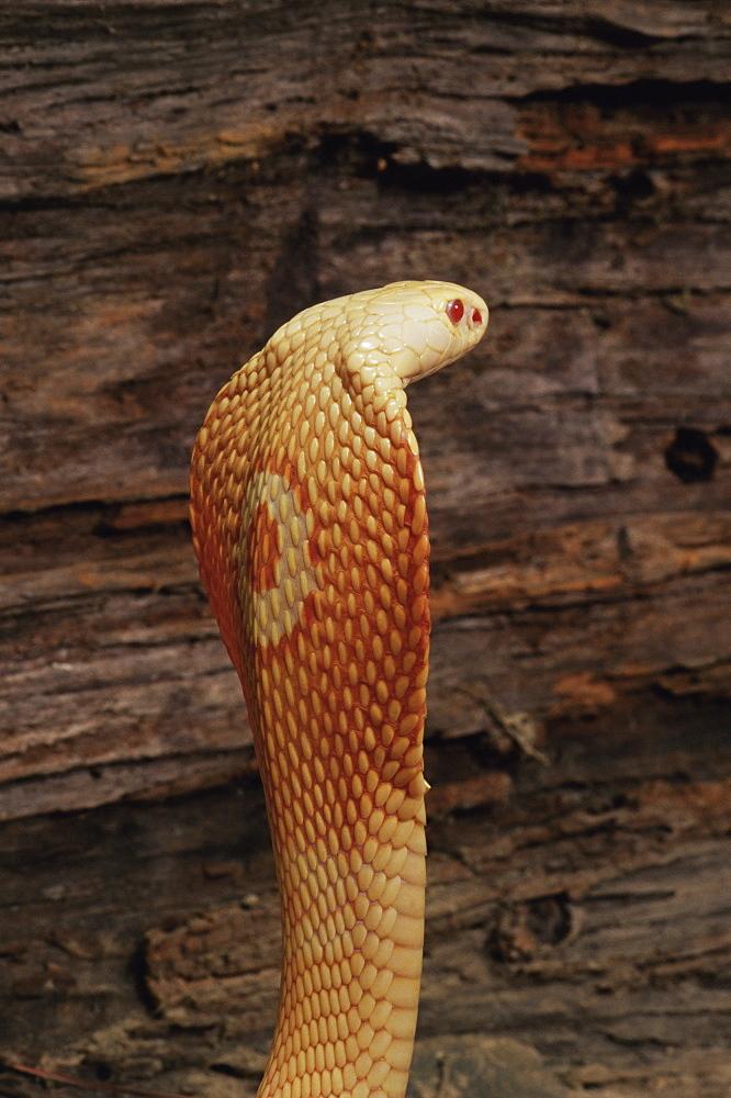 Albino monocled cobra (Naja naja kaouthia), in captivity, from Southeast Asia, Asia