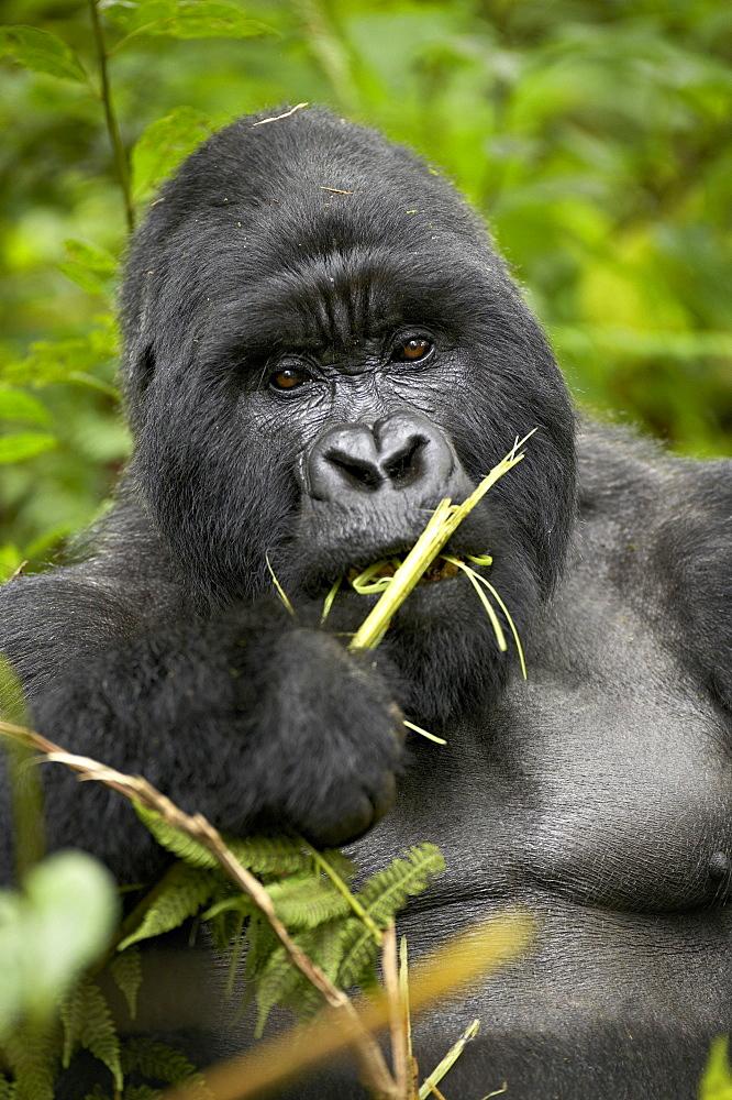 Silverback mountain gorilla (Gorilla gorilla beringei), Group 13, Volcanoes National Park, Rwanda, Africa