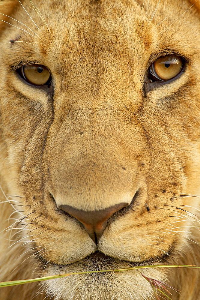 Young male lion (Panthera leo), Masai Mara National Reserve, Kenya, East Africa, Africa