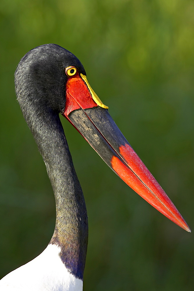 Female saddle-billed stork (Ephippiorhynchus senegalensis), Kruger National Park, South Africa, Africa - 764-1205