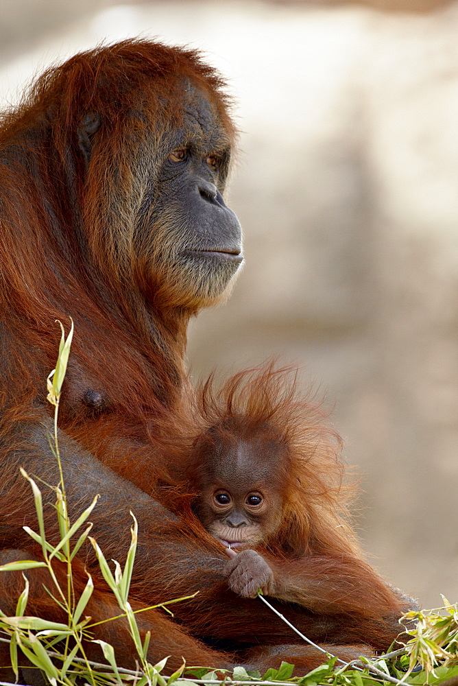 Orangutan (Pongo pygmaeus) mother and 6-month old baby in captivity, Rio Grande Zoo, Albuquerque Biological Park, Albuquerque, New Mexico, United States of America, North America