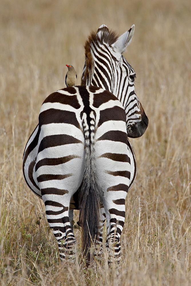 Red-Billed Oxpecker (Buphagus erythrorhynchus) on a Grants Zebra (Plains Zebra) (Common Zebra) (Equus burchelli boehmi), Masai Mara National Reserve, Kenya, East Africa, Africa