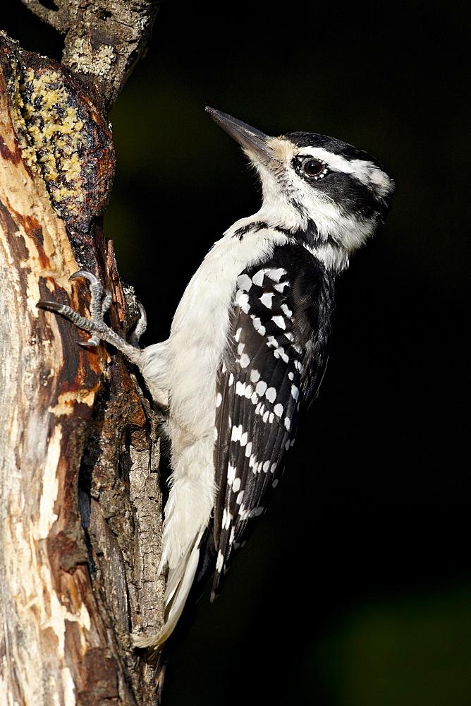 Female hairy woodpecker (Picoides villosus), Wasilla, Alaska, United States of America, North America