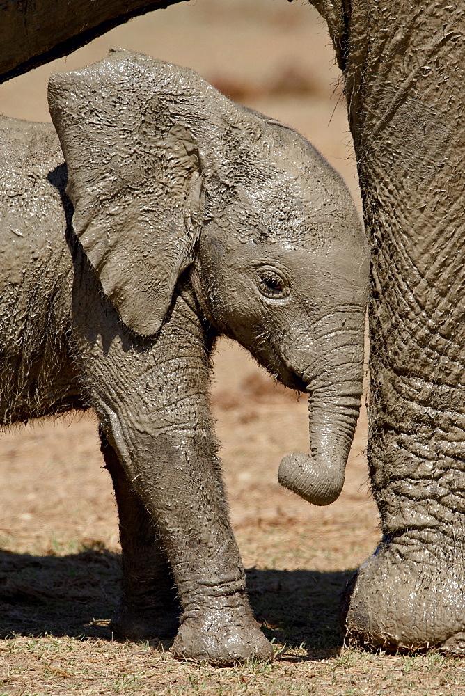 Muddy baby African elephant image