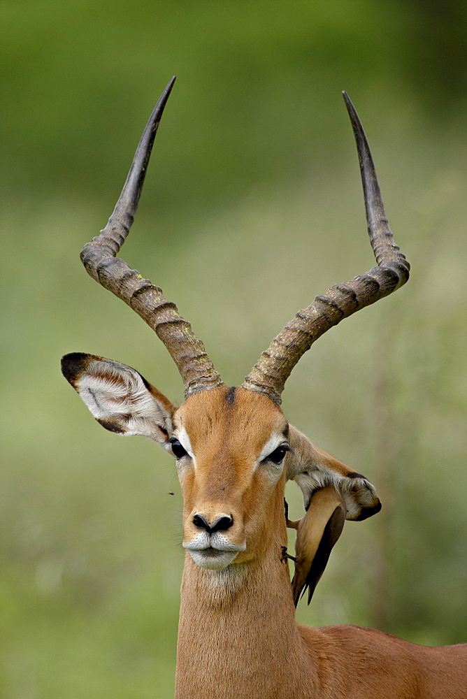 Male Impala (Aepyceros melampus) with a Red-Billed Oxpecker (Buphagus erythrorhynchus), Kruger National Park, South Africa, Africa