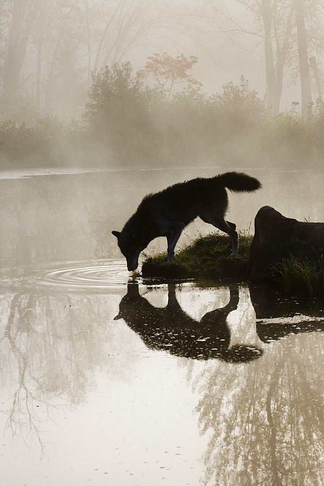 Gray wolf (Canis lupus) drinking in the fog, reflected in the water, in captivity, Sandstone, Minnesota, United States of America, North America - 764-189