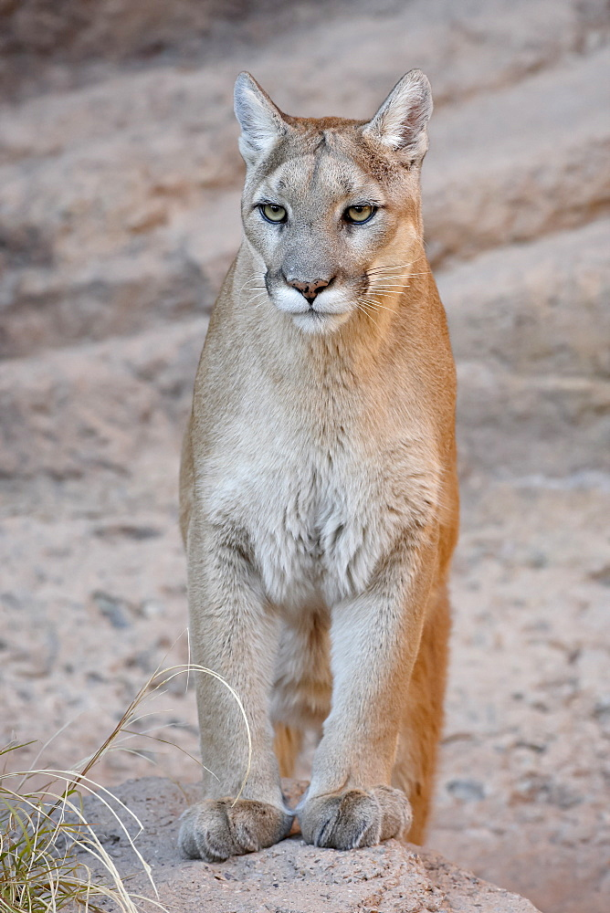 Mountain lion (cougar) (Felis concolor) in captivity, Arizona Sonora Desert Museum, Tucson, Arizona, United States of America, North America