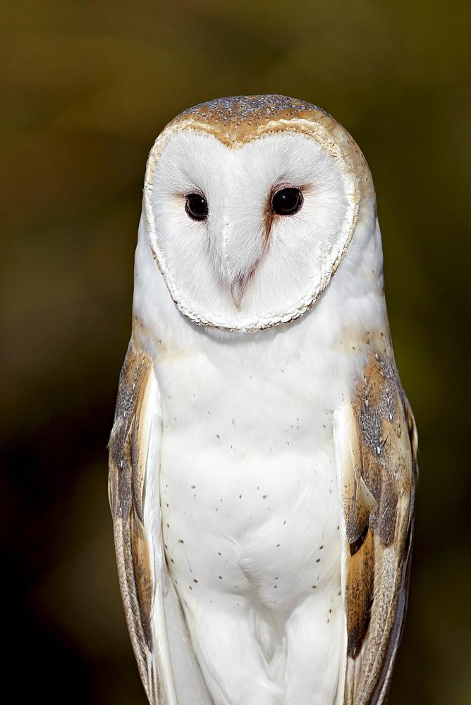 Barn owl (Tyto alba) in captivity, Arizona Sonora Desert Museum, Tucson, Arizona, United States of America, North America
