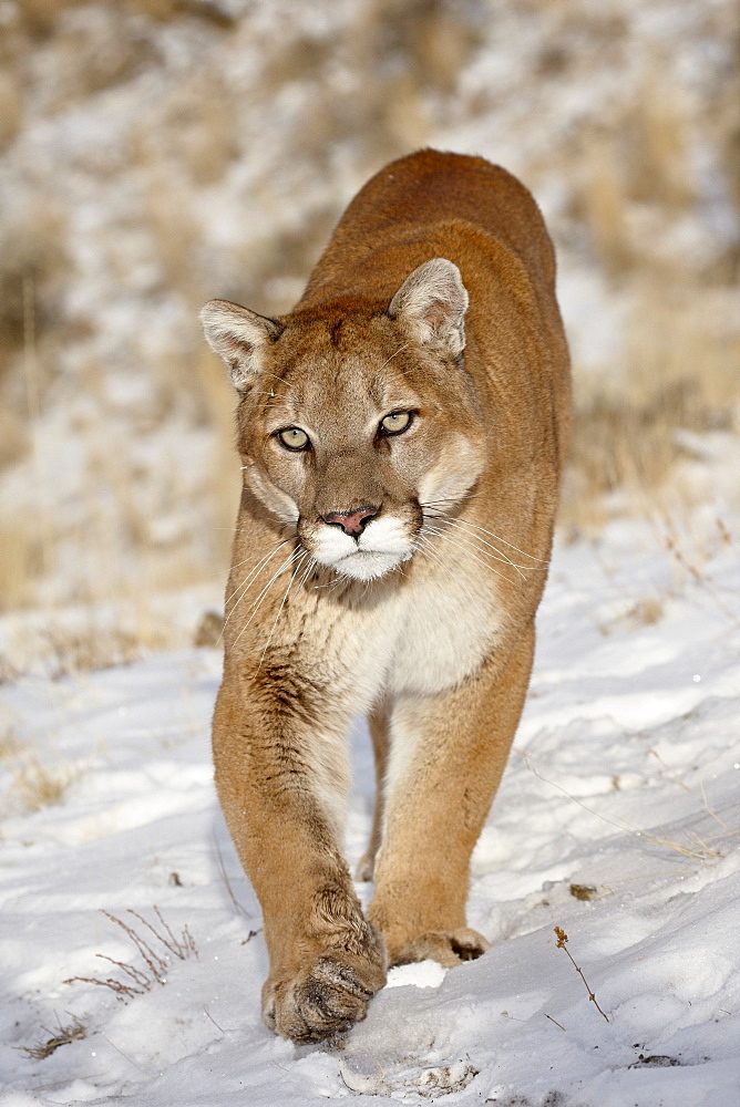 Mountain Lion (Cougar) (Felis concolor) in the snow, in captivity, near Bozeman, Montana, United States of America, North America