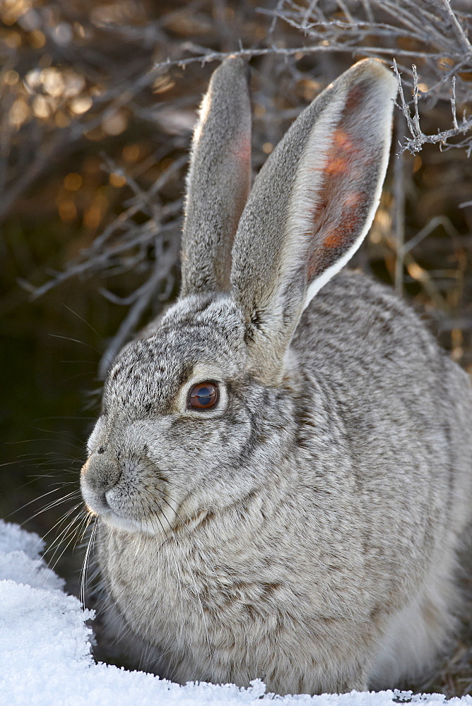 Blacktail Jackrabbit (Lepus californicus) in the snow, Antelope Island State Park, Utah, United States of America, North America