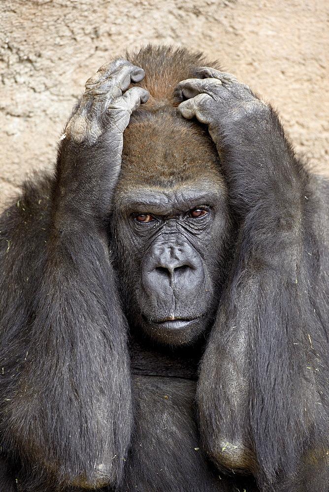 Western lowland gorilla (Gorilla gorilla gorilla) in captivity, Rio Grande Zoo, Albuquerque Biological Park, Albuquerque, New Mexico, United States of America, North America