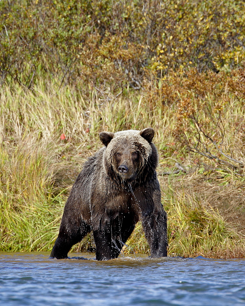 Grizzly bear (Ursus arctos horribilis) (Coastal brown bear) dripping wet while fishing, Katmai National Park and Preserve, Alaska, United States of America, North America