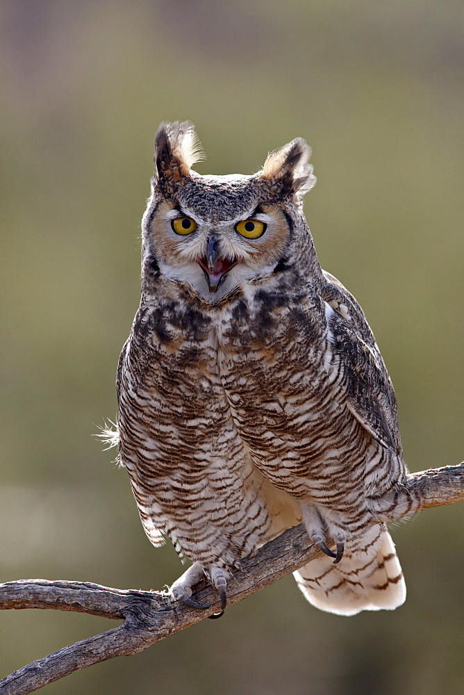 Great horned owl (Bubo virginianus) in captivity, Arizona Sonora Desert Museum, Tucson, Arizona, United States of America, North America