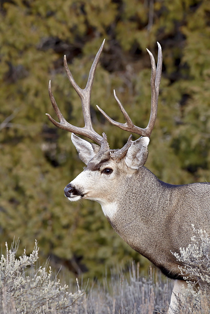Mule deer (Odocoileus hemionus) buck, Heron Lake State Park, New Mexico, United States of America, North America
