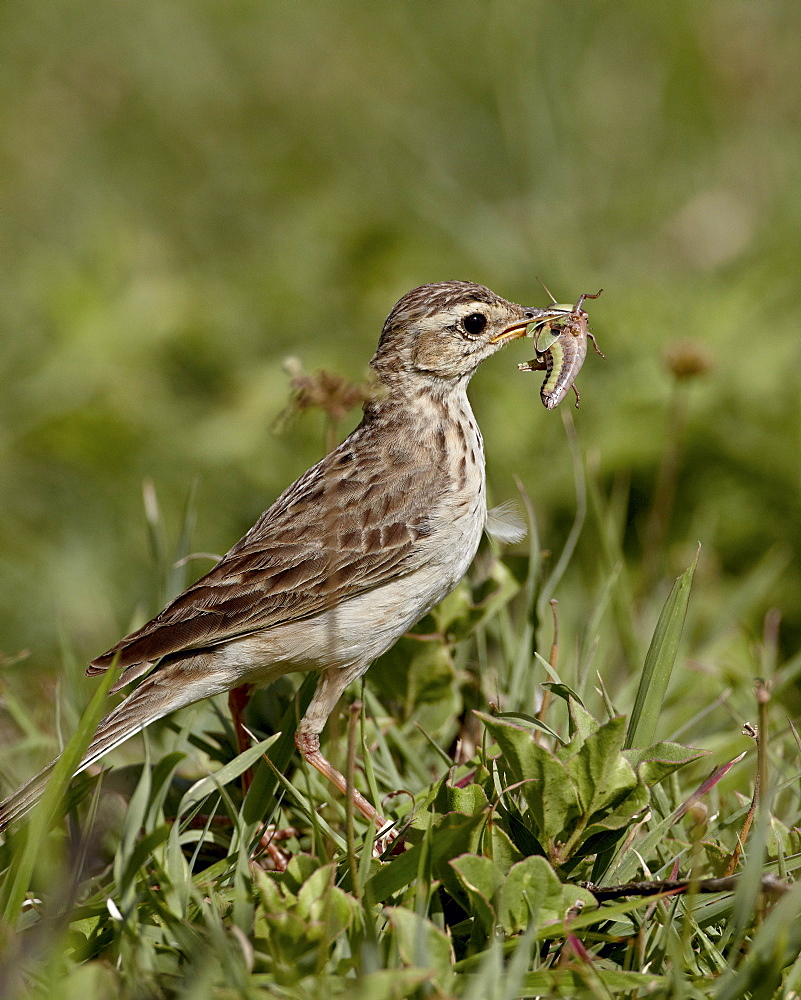 African pipit (grassland pipit) (grassveld pipit) (Anthus cinnamomeus) with a grasshopper, Ngorongoro Crater, Tanzania, East Africa, Africa