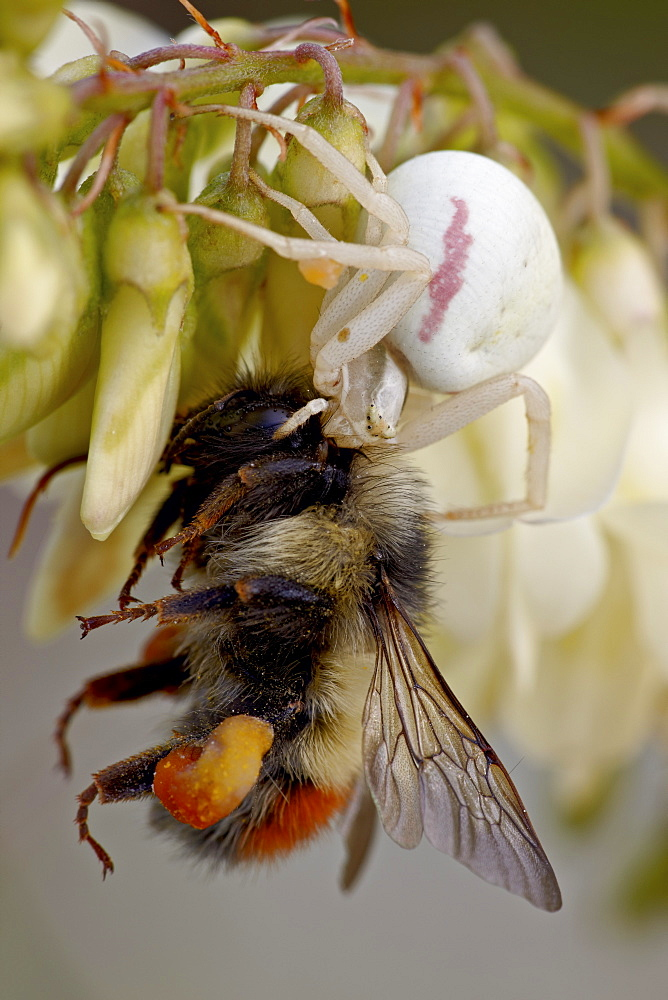 Female goldenrod spider (Misumena vatia) eating a red-tailed bumble bee (Bombus ternarius), Waterton Lakes National Park, Alberta, Canada, North America