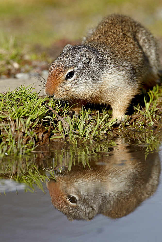 Columbian ground squirrel (Citellus columbianus) reflected, Glacier National Park, Montana, United States of America, North America