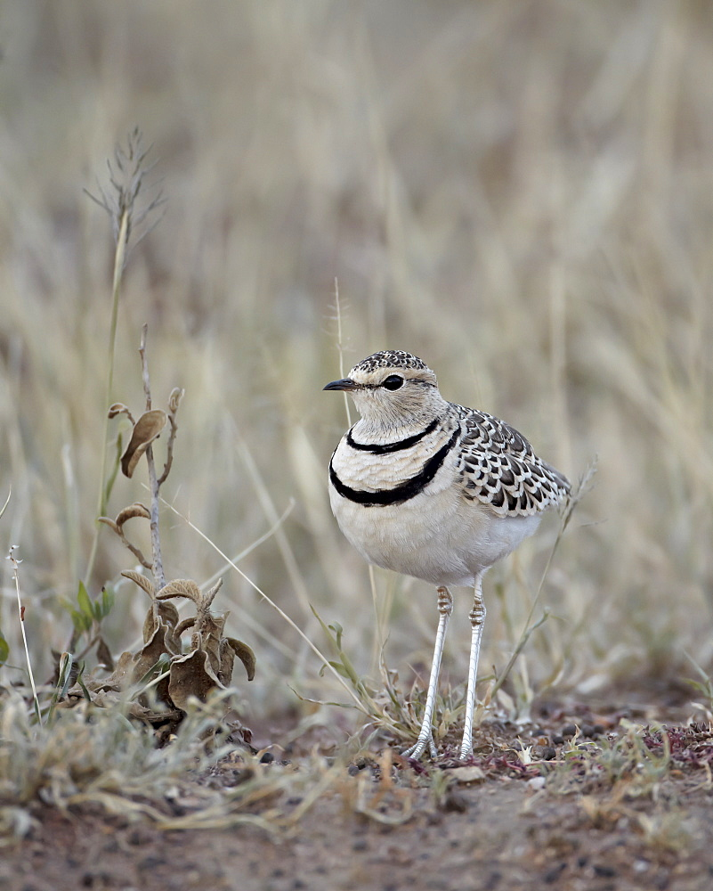 Two-Banded Courser (Double-Banded Courser) (Rhinoptilus africanus), Serengeti National Park, Tanzania, East Africa, Africa